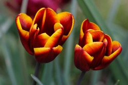 Close-up of of spring-blooming red-yellow tulip flower in the garden. Macro photography of nature.