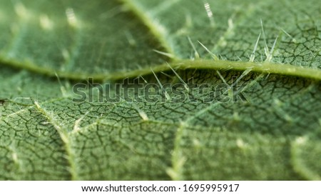 close up of of stinging nettle leaf (Urtica dioica) showing the sting cells or trichome hairs or spicules causing skin irritation - histamine, serotonin, choline, formic acid, oxalic acid Zdjęcia stock ©
