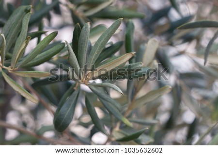Close up of olives tree branch, on green bokeh background. Photo of an olive tree.