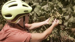Close up of one smiling senior woman with yellow bicycle helmet in the middle of the bunches of grapes. healthy lifestyle. One happy people.Green vineyard in background.