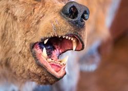 Close up of open jaws of the simulacrum prehistorical  seasonal (Cavalry caviar) bear