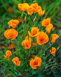 Close-up of orange california poppy flower mound in full bloom. Bright orange flowers surrounded by green background.