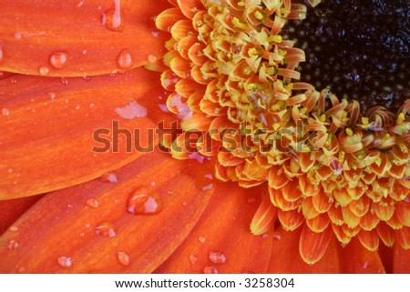 close up of orange gerber, flower covered with morning dew