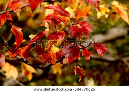 Close up of orange, red and yellow maple leafs in peak foliage during New England autumn #584390626