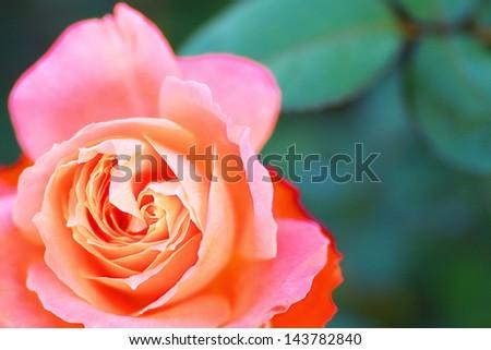 Close up of orange red rose flower named Majorette