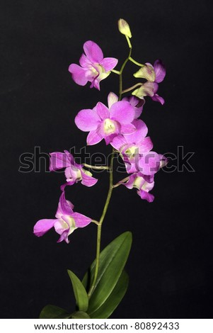 Close-up of Orchidea flower on the black background