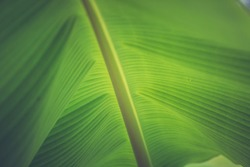 Close up of organic green banana leaves on the tree with blur nature background