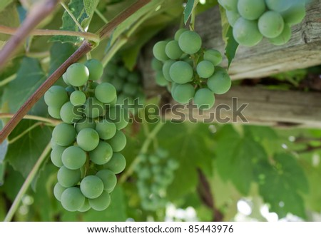 close up of organic grown grapes in southern idaho