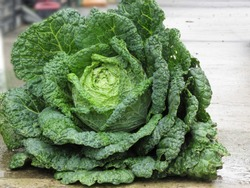 Close up of organic Savoy cabbage just hand picked from the garden