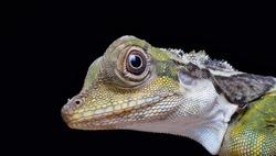 Close  up of Oriental garden lizard (Calotes versicolor juvenile) at night.