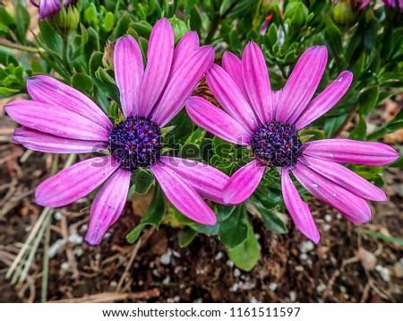 Close up of osteospermum (dimorphotheca ecklonis) flower.