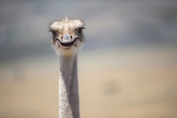 Close Up Of Ostrich Head Looking Into Camera In South African Countryside