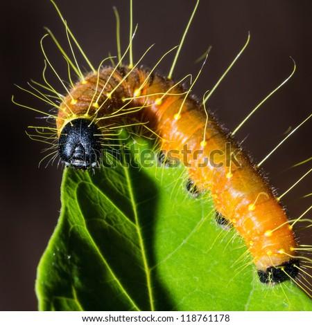 Tìm hiểu Bướm - Page 2 Stock-photo-close-up-of-painted-jezebel-delias-hyparete-lava-caterpillar-on-green-leaf-square-cropped-118761178