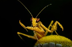 Close up of pair of Beautiful European mantis ( Mantis religiosa )