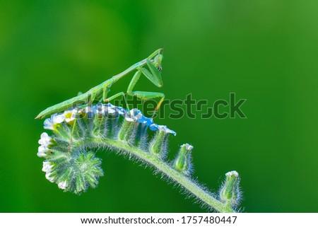 Close up of pair of Beautiful European mantis ( Mantis religiosa ) Foto stock ©