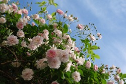 Close up of pale pink blossoms of rambler or climbing roses against blue sky, dreamy inflorescence in a romantic country cottage garden in early summer