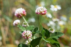 Close-up of pale pink flower head of alsike clover in blossom. Trifolium hybridum. Details of the stalked, pale pink or whitish flower head. Selective focus, blurred background.
