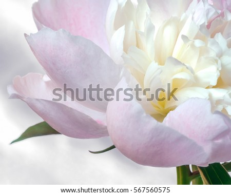 Close up of pale pink peony flower on light background. Macro photo with shallow depth of field and soft focus. Natural background. #567560575