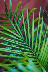 close-up of palm tree leaves with raindrops outdoor in backyard under tropical rain shot at shallow depth of field
