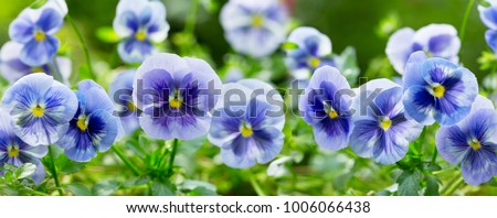 close up of pansy flower growing in the garden