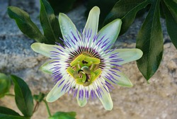 Close-up of Passion flower with dewdrops on, Passiflora Caerulea, the blue passionflower, bluecrown passionflower, front-view, with leaves on a background. In full bloom.