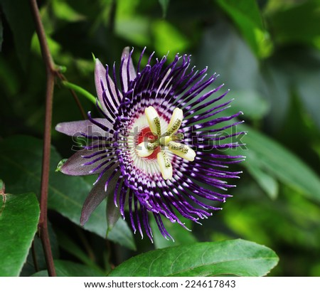 Close up of passion fruit flower (Passiflora) from Bangalore in India #224617843