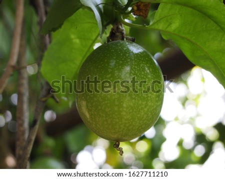 Close up of passion fruit. Passion fruit growing on the vine, selective focus.