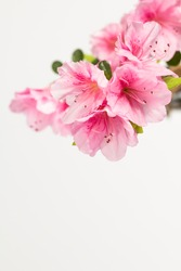 Close up of pastel pink azalea blossoms with white background and copy space.