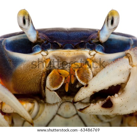 Close-up of Patriot crab, Cardisoma armatum, in front of white background
