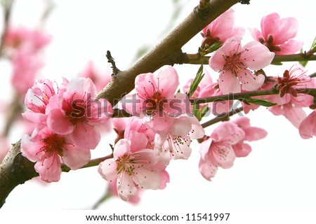 close up of peach flowers over white