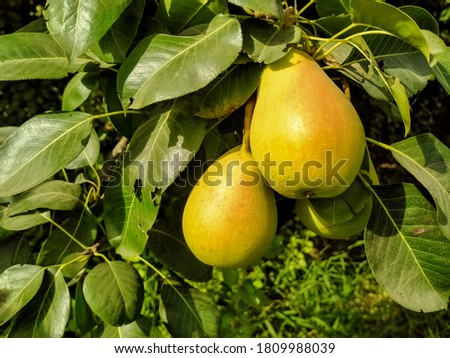 Close up of Pear Hanging on tree.Fresh juicy pears on pear tree branch.Organic pears in natural environment.Crop of pears in summer garden.Beautiful natural pears weigh on a pear tree.Selective Focus. Photo stock ©