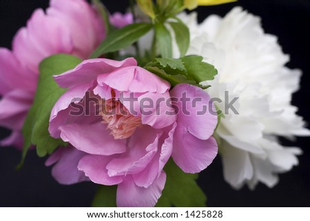 Close-up of peony flowers in an arrangement on black background - shallow depth of field.
