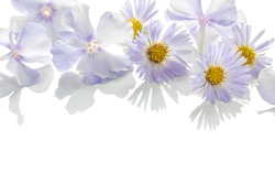 Close up of perfumed violet flowers with tender transparent petals isolated on white background with reflection (chamomile, daisy, chrysanthemum with yellow center and phlox), bottom space