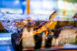 Close-up of pet water turtle in breeding tank