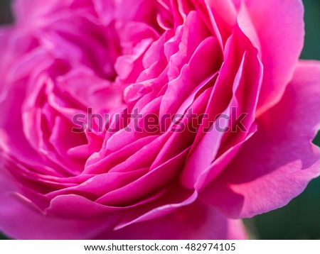 Close up of petals of a pink peony flower blossoing in spring