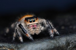 Close up of Phidippus regius jumping spider on the dark background