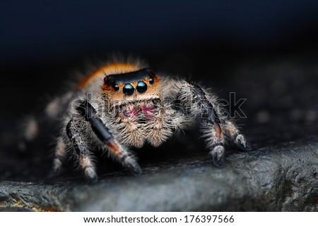 Close up of Phidippus regius jumping spider on the dark background #176397566