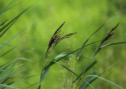 close up of Phragmites australis, also called common reed or reed