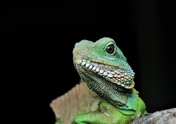 Close-up of Physignathus water dragon, a genus of large, diurnal, arboreal, agamid lizards from Asia.
