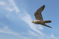 Close up of Pigeon Hawk flying in blue sky