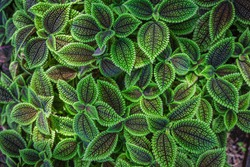 Close up of Pilea involucrata, commonly called the friendship plant or Moon Valley.  It is native to Central and South America.