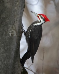 Close up of Pileated Woodpecker climbing up a tree