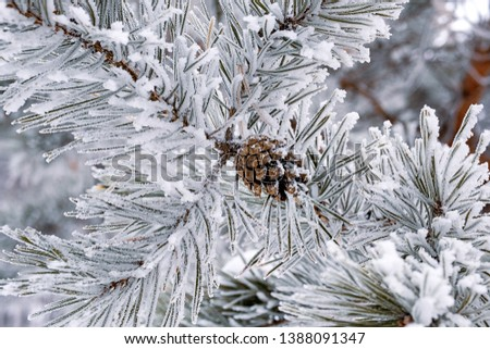close-up of pine branch with a cone frost frost on all needles of pine, winter frosts in Russia #1388091347