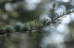 Close up of pine twin in nature