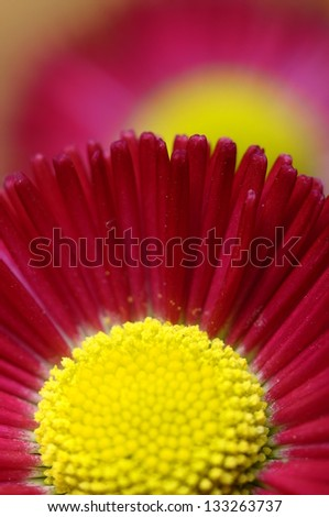 Close up of pink and yellow daisy flower heart and petals