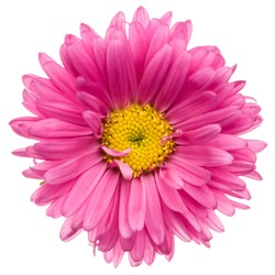Close-up of pink aster isolated on white background.