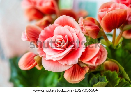 Close-up of pink begonia flowers showing their textures, patterns and details in a flower pot photographed with natural light.