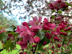 Close-up of pink blossom of apple tree or malus profusion in spring time.