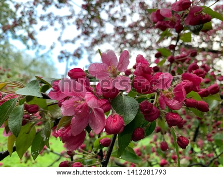 Close-up of pink blossom of apple tree or malus profusion in spring time. Сток-фото ©