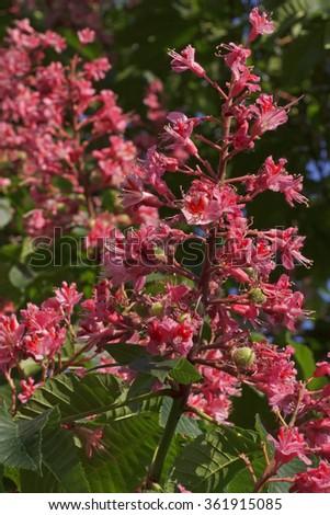 Close up of pink chestnut tree blossom ez canvas close up of pink chestnut tree blossom mightylinksfo